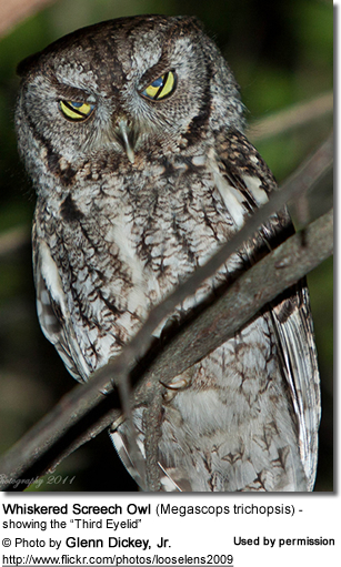Whiskered Screech Owl (Megascops trichopsis) - showing the