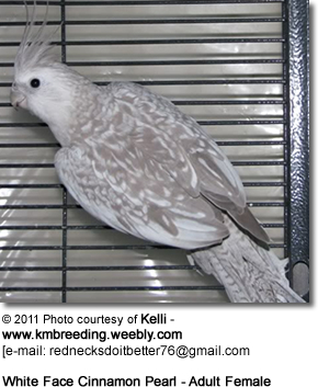 White-faced Cinnamon Pearl Cockatiel