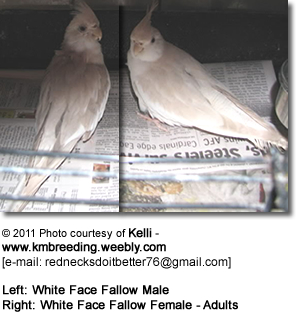 Left: White Face Fallow Male