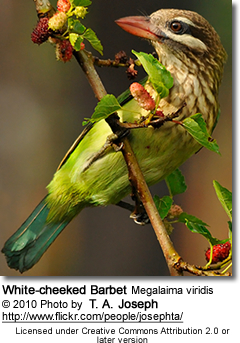 White-cheeked Barbet Megalaima viridis, also known in India as the Small Green Barbet, is very similar to the Brown-headed Barbet (or Large Green Barbet)
