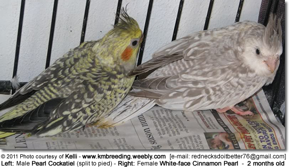 Left: Male Pearl Cockatiel - Right: Female White-face Cinnamon Pearl Cockatiel