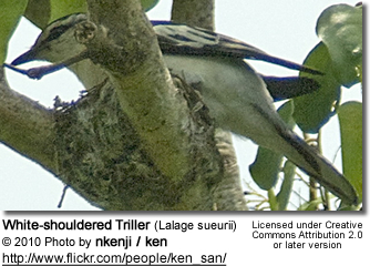 White-shouldered Triller (Lalage sueurii)