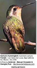 Female Xantus's Hummingbird (Hylocharis xantusii)