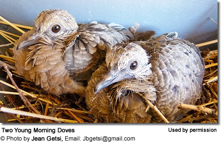 Two Young Morning Doves
