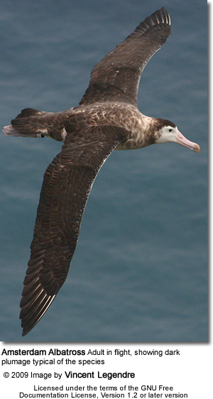 Amsterdam Albatross adult in flight, showing dark plumage typical of the species