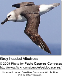Grey-headed Albatross, Thalassarche chrysostoma, also known as the Grey-headed Mollymawk