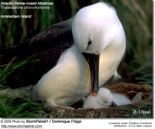Indian Yellow-nosed Albatross, Thalassarche carteri