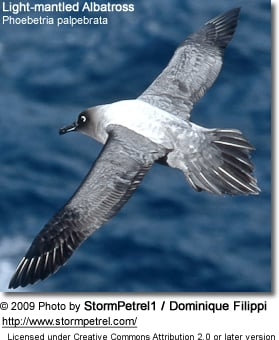 Light-mantled Albatross, Phoebetria palpebrata