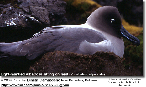 Light-mantled Albatross sitting on nest (Phoebetria palpebrata)
