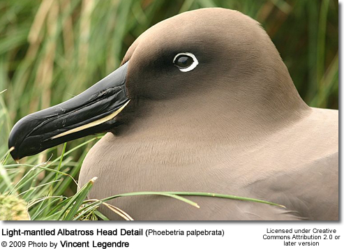 ight-mantled Albatross Head Detail (Phoebetria palpebrata)
