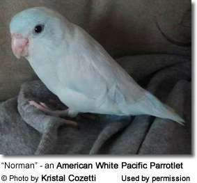 """Norman"" - an American White Pacific Parrotlet"
