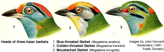 Asian Barbet - Head Details