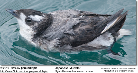 Japanese Murrelet, Synthliboramphus wumizusume also known as Crested Murrelet