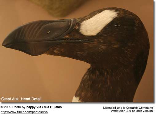 Great Auk Head Detail