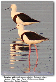 Banded Stilts