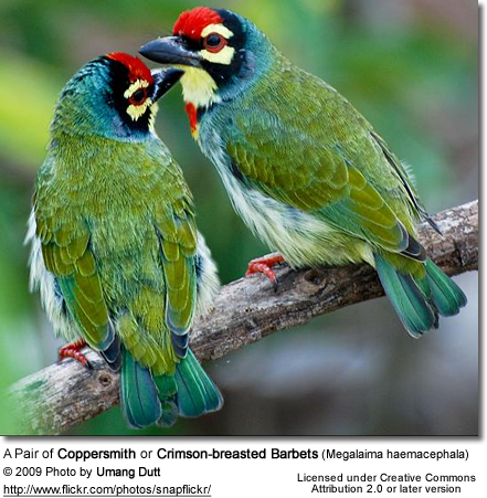 Coppersmith Barbets - an affectionate pair