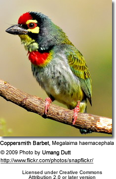 Crimson-breasted Barbet