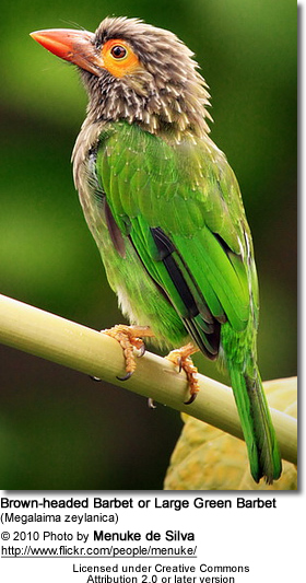Brownheaded Barbet