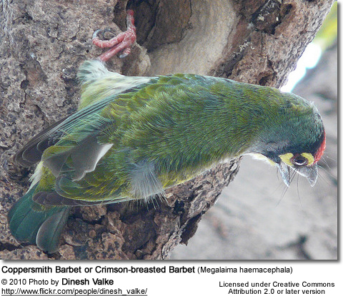 A nesting pair of Copper Smith Barbets - Male feeding hen in nest