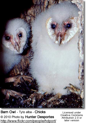 Barn Owls Tytonidae Beauty Of Birds
