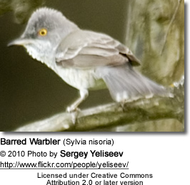Barred Warblers