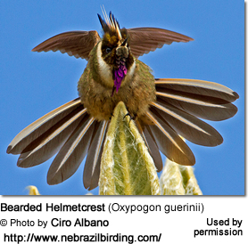 Bearded Helmetcrest (Oxypogon guerinii)