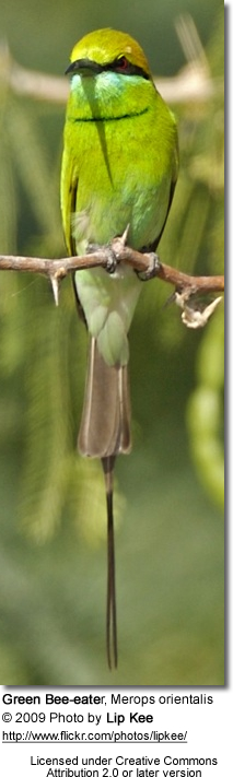 Green Bee-eater,