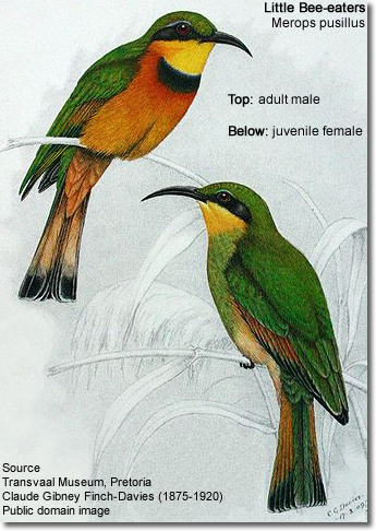 Little Bee-eaters: 1 adult male and 1 juvenile female