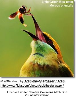Little Green Bee-eater with insect