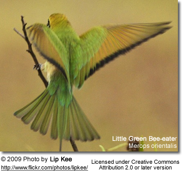 Little Green Bee-eater taking off