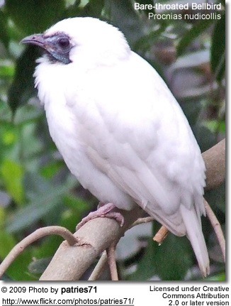 Bare-throated Bellbird