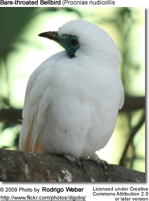 Bare throated bellbird procnias nudicollis