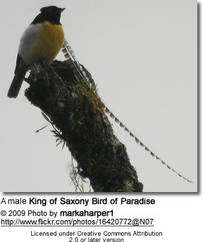 King of Saxony Birds of Paradise | Beauty of Birds
