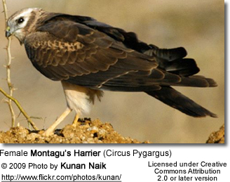 Female Montagu's Harrier