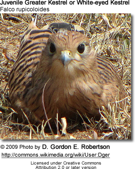 Juvenile Greater Kestrel or White-eyed Kestrel