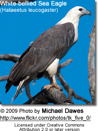 White-bellied Sea Eagle (Haliaeetus leucogaster)