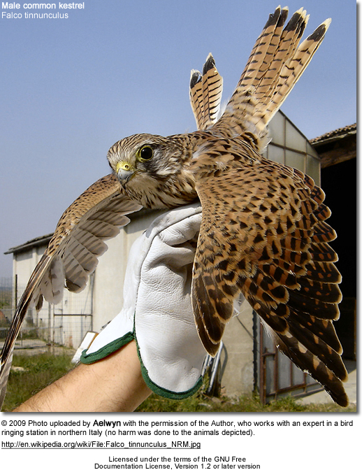 Young commoon kestrel