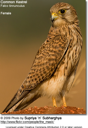 Common Kestrel (Falco tinnunculus) - Female
