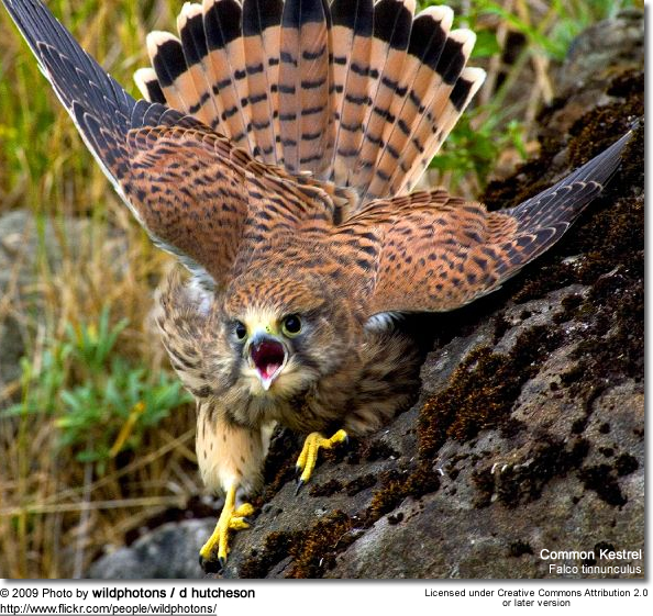 Female Common Kestrel showing aggression