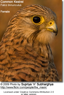 Common Kestrel Portrait (Female)