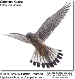 Male Common Kestrel in flight