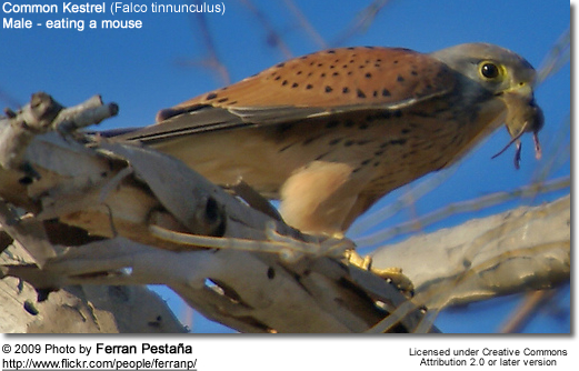 Common Kestrel eating a mouse