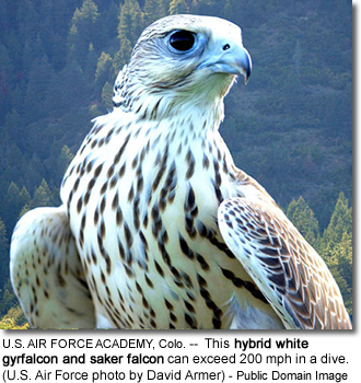 hybrid white gyrfalcon and saker falcon