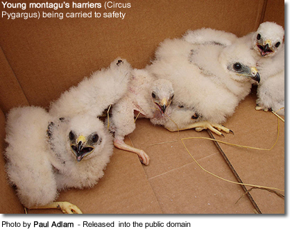 Young montagu's harriers
