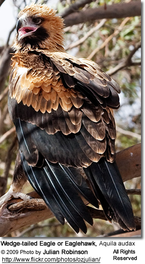 Wedge-tailed Eagle or Eaglehawk, Aquila audax