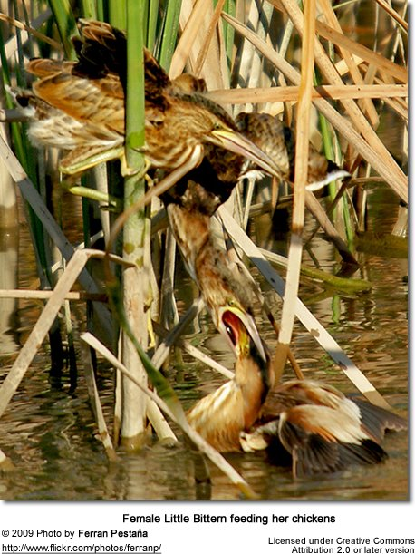 Female Little Bittern feeding chicks