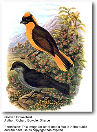 Golden Bowerbirds
