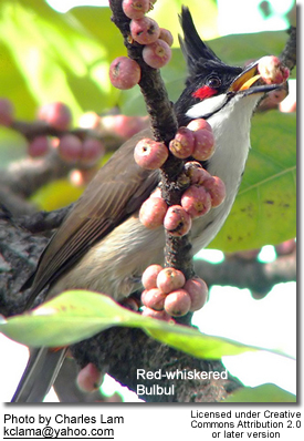 Red-whiskered Bulbul feeding