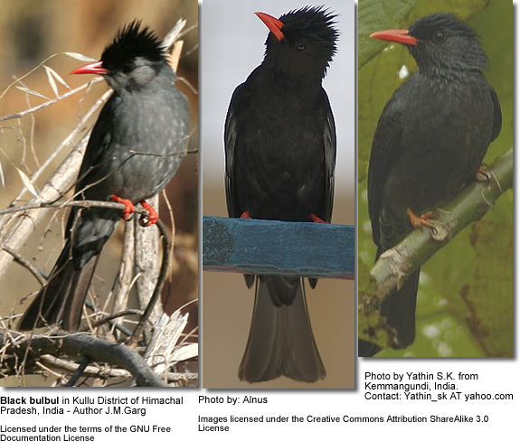 Black Bulbuls