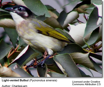 Light-vented Bulbuls